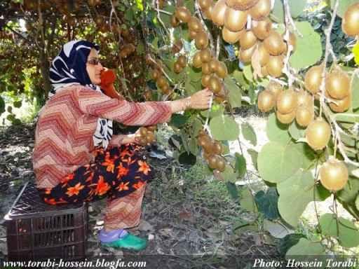 Kiwi harvesting