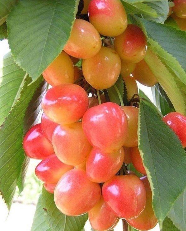 Mahshad fresh cherry