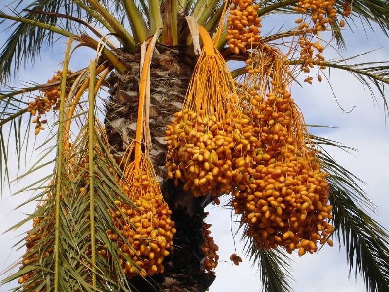 benefits of Date kernel powder or date seed powder and how to use it