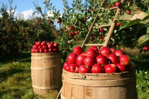 we export iranian apple ,any differant types of apples with best quality