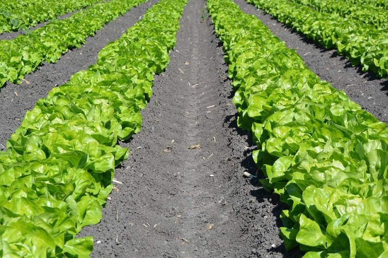 lettuce benefits and types - is lettuce a vegetable or fruit ?