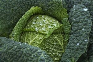 Are cabbage and lettuce the same ? Is it a vegetable? cabbage recipe